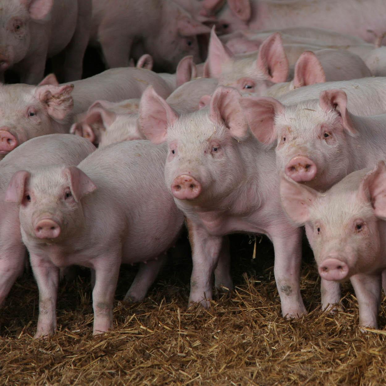 Swine & Pig Feed Feed l Purina